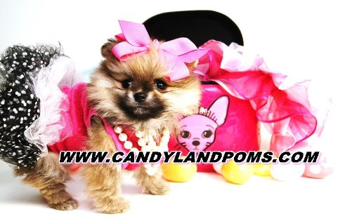 Teddy Bear Pomeranian Breeder In Houston Texas With Poms For