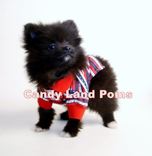 Teacup Teddy Bear Pomeranian Puppies For Sale In Houston Texas